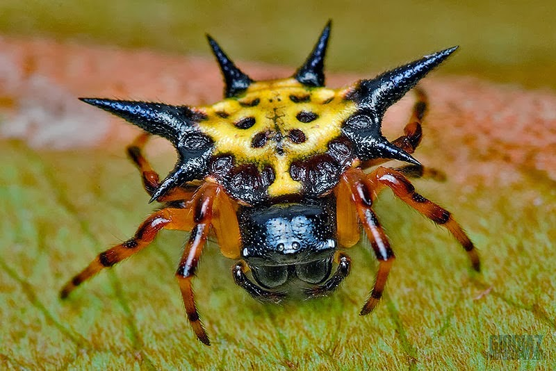 a yellow star spider with black spines