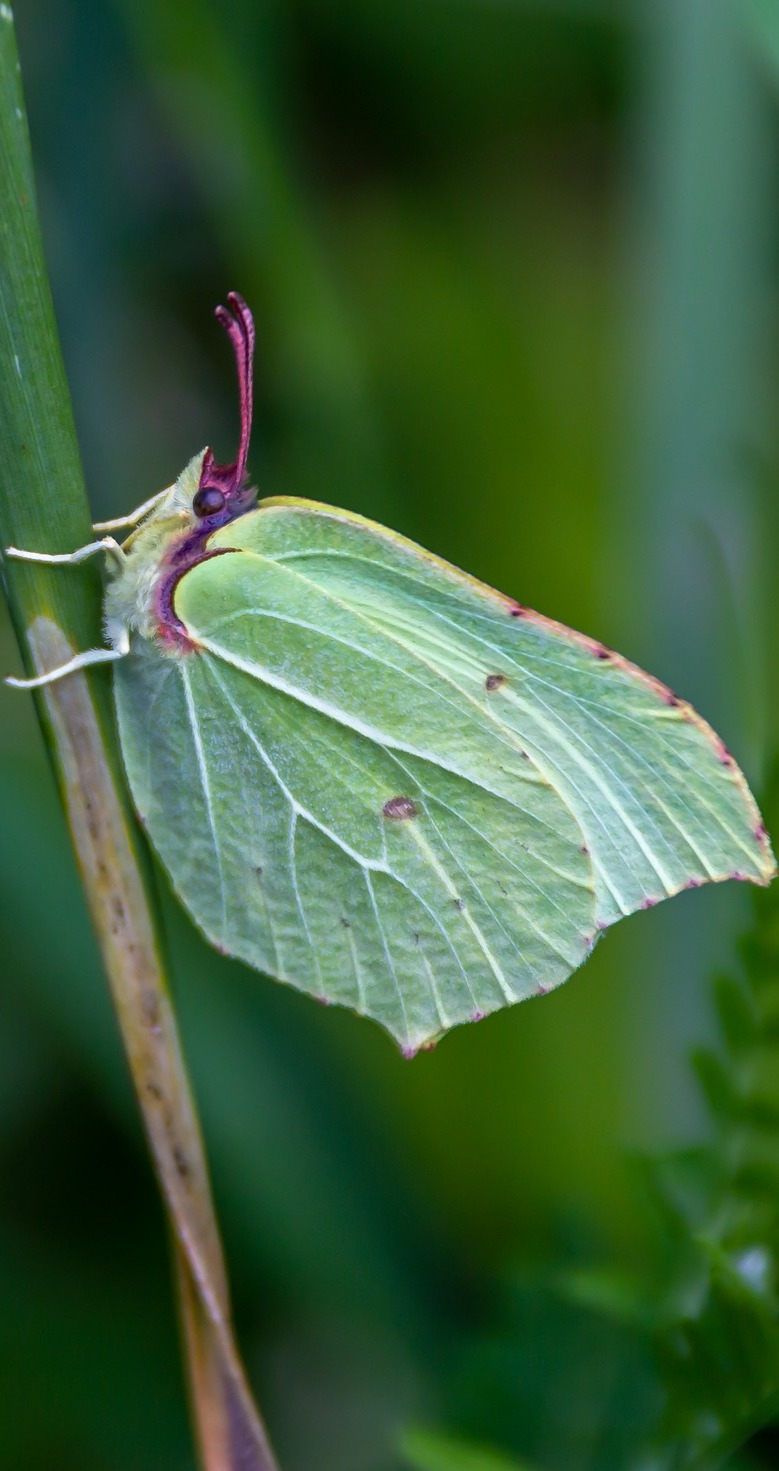 Picture of a common brimstone butterfly.