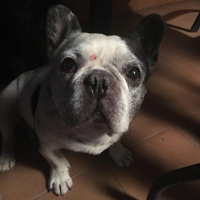bulldog francés, sara salamo, señor coco