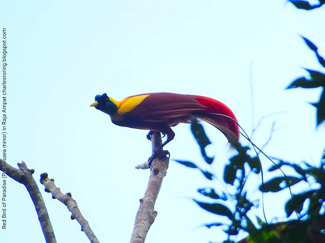 Male Red Bird of Paradise (Paradisaea rubra)