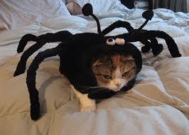 Spider cat picture