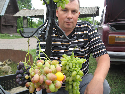 Каталог- прайс винограду