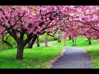 Jika anda ingin menikmati keindahan Bunga Sakura? Jangan pergi jauh ke Jepang Loh. Di Puncak juga ada, tepatnya di Kebun Raya Cibodas Terdapat Taman Sakura yang indah. Tempat ini sangat menarik, karena bunga sakura yang seharusnya dapat tumbuh di daerah yang memiliki empat musim. Terletak di ketinggian 1.425 meter di atas permukaan laut di habitat yang cocok untuk Bunga Sakura