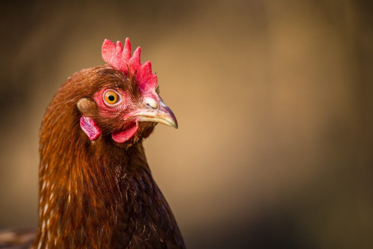 This Woman Makes $50K A Year By Creating Clothes For Chickens