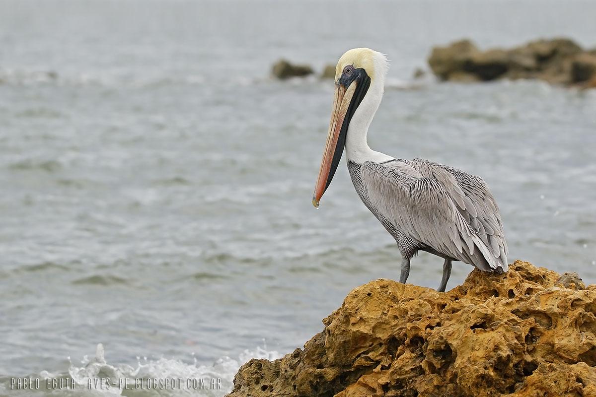 Pelecanus Occidentalis Pelícano Pardo Brown Pelican