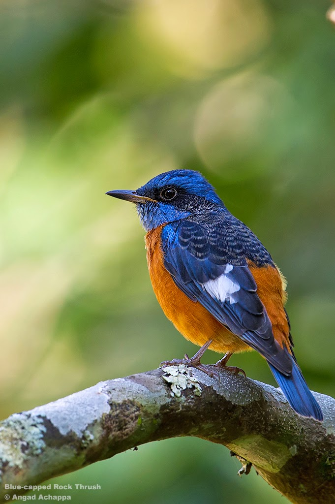 Birding at Nandi Hills – Blue-capped Rock Thrush – Part II