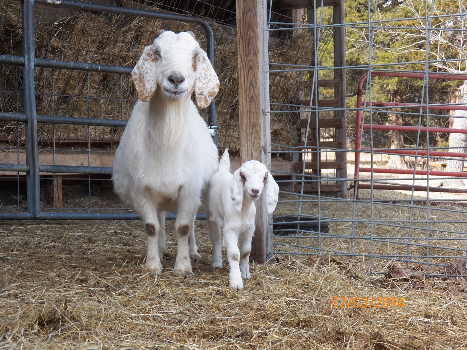 Black Rock Ranch Bottle Baby Goat And Milk Replacer Recipe
