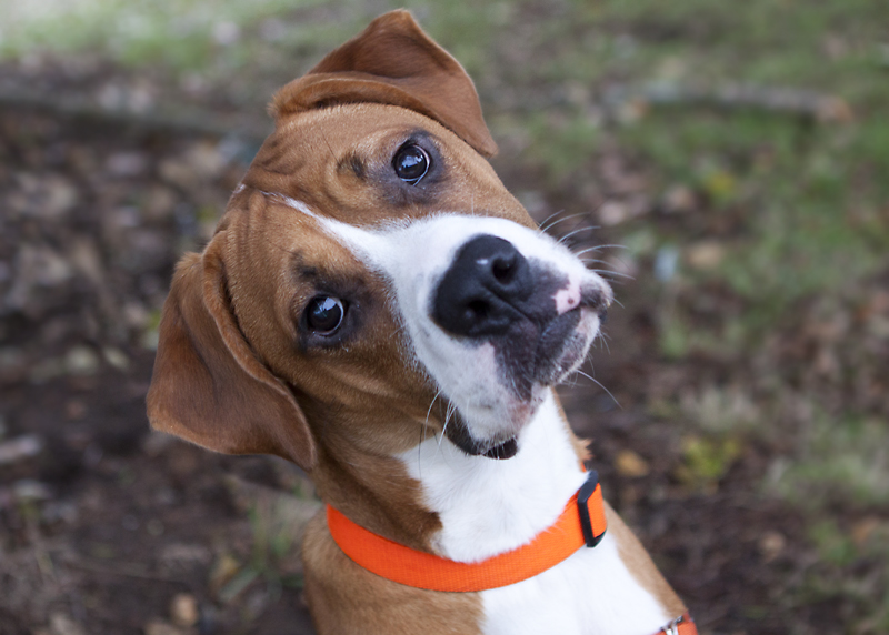 boxer dogs mix