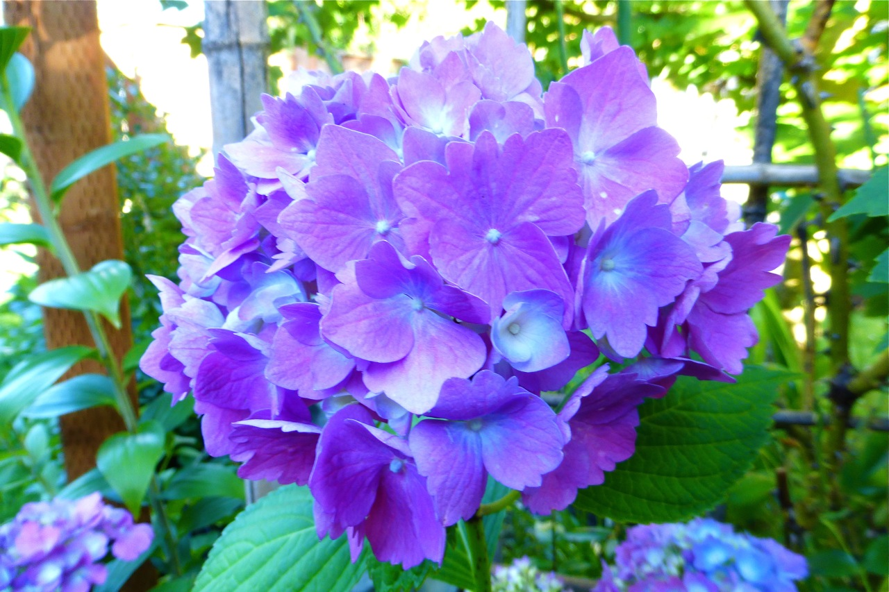 hydrangea, summer garden, perrenial