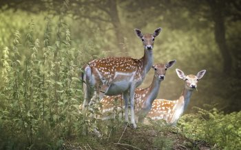 Wallpaper: Fallow Deer 4K