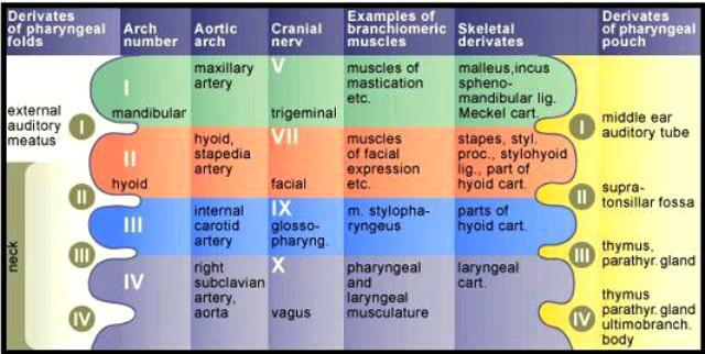 Branchial Arches Medical Addicts