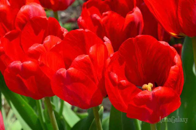 Красивые красные тюльпаны