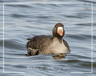 Greater White-fronted Goose. Copyright © Shelley Banks, all rights reserved.