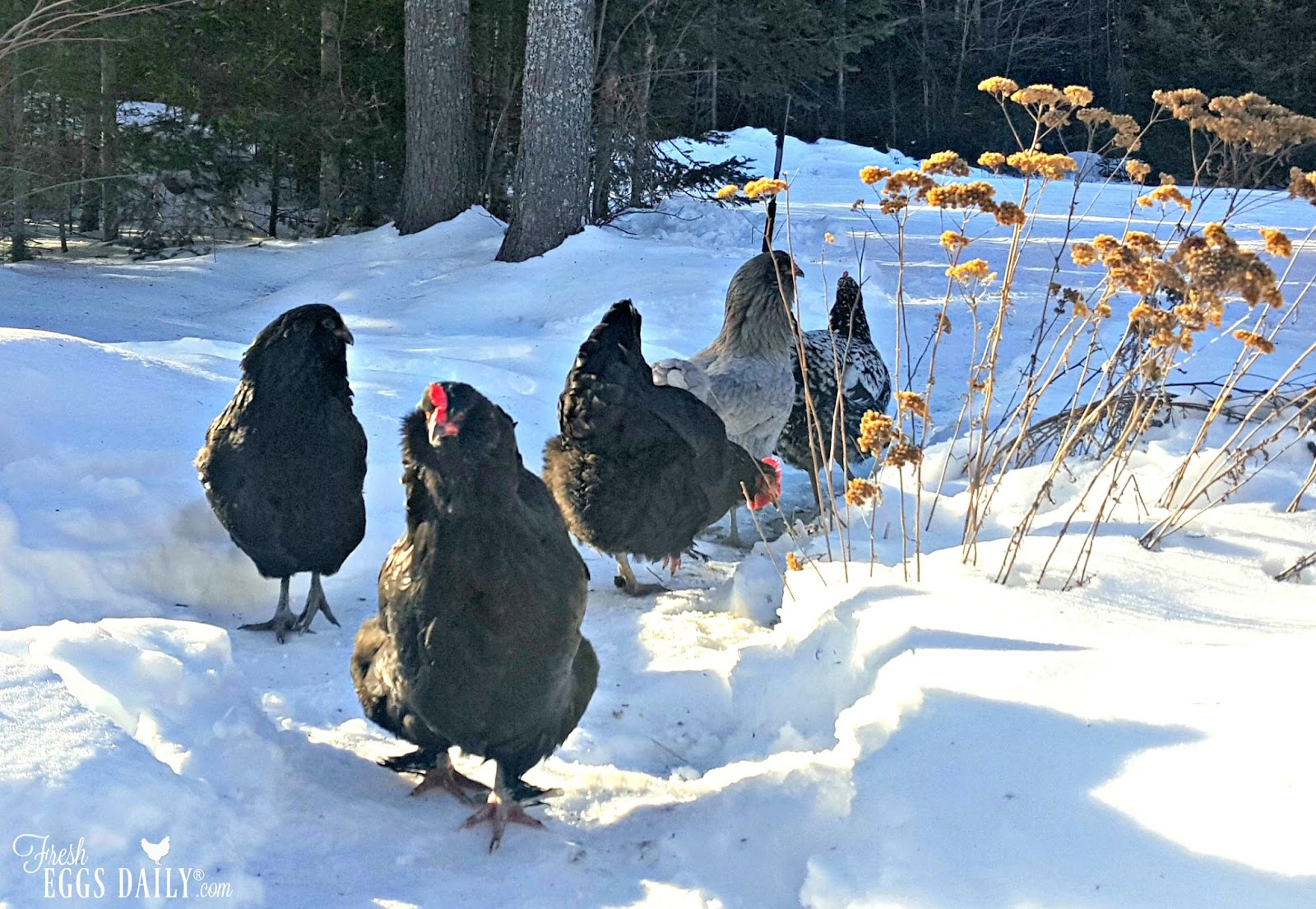 my top 5 winter tips for keeping your chickens warm fresh eggs