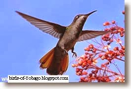 Black-throated Mango (Anthracothorax nigricollis) hummingbird