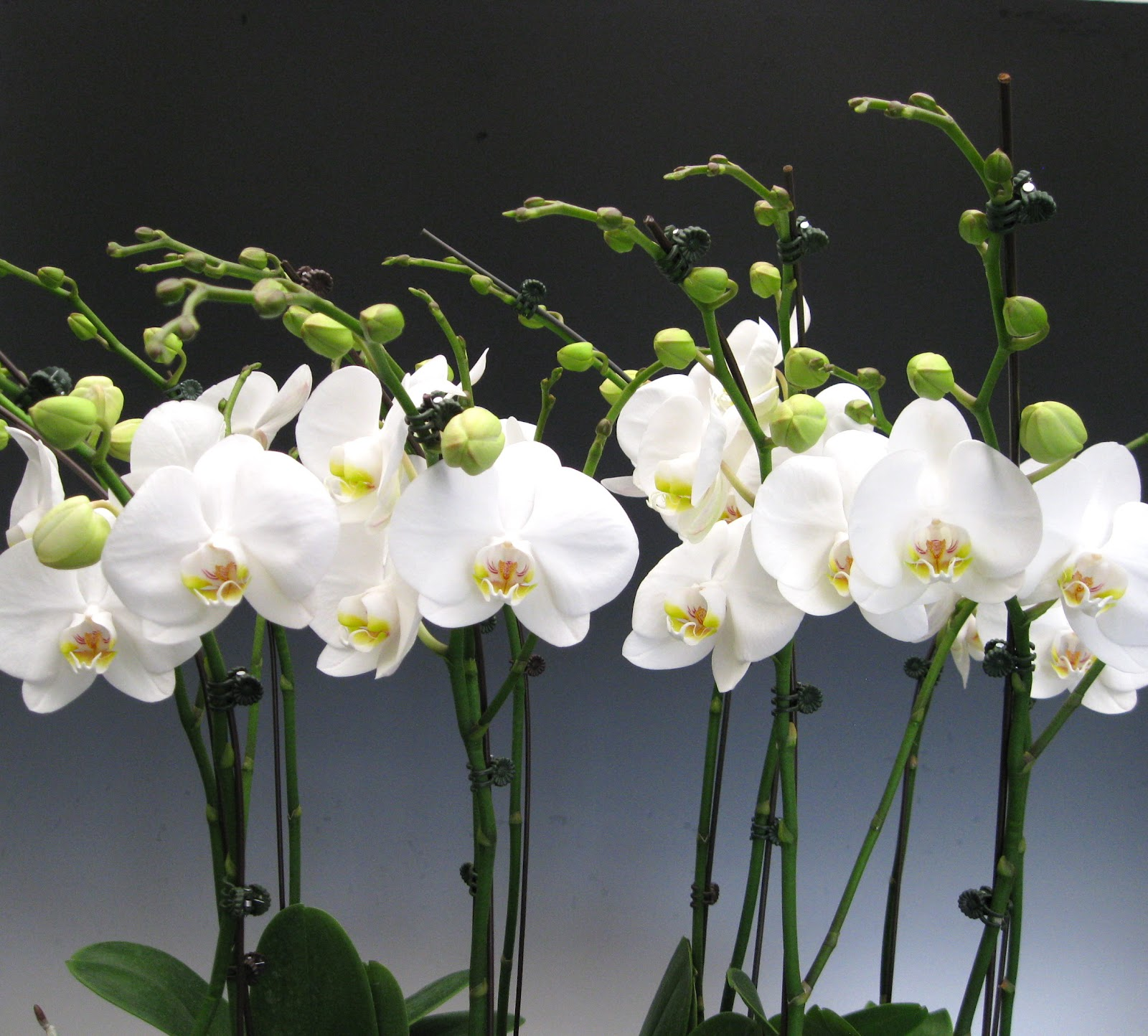 how to look after a phalaenopsis orchid plant