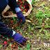 เก็บลูกร่วงไม่หมด จนมีต้นปาล์มงอกโคนต้น  มีผลกระทบหรือไม่