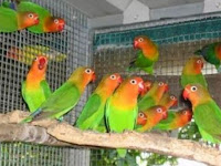 Cara Merawat Lovebird Yang Baik dan Benar