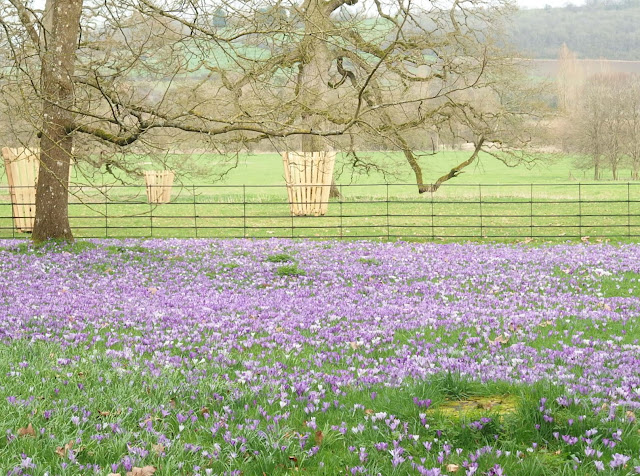 The crocus meadow at Lacock Abbey