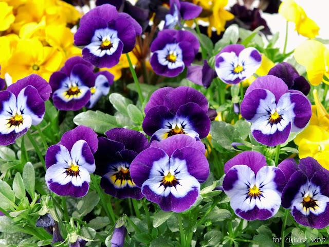 fioletowe bratki miniaturowe