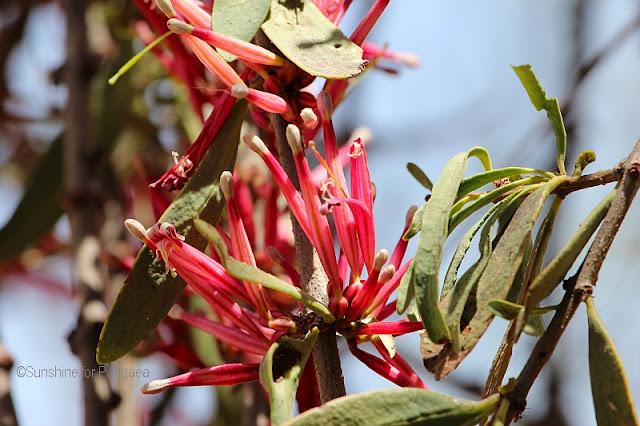 Tapinanthus globiferus flowers