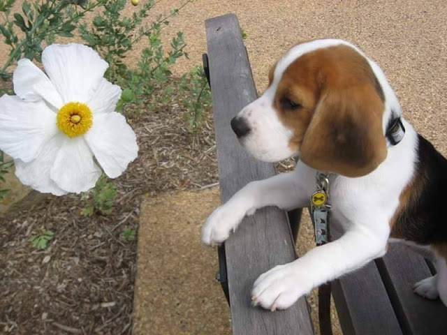 Beagle puppy dog outdoors