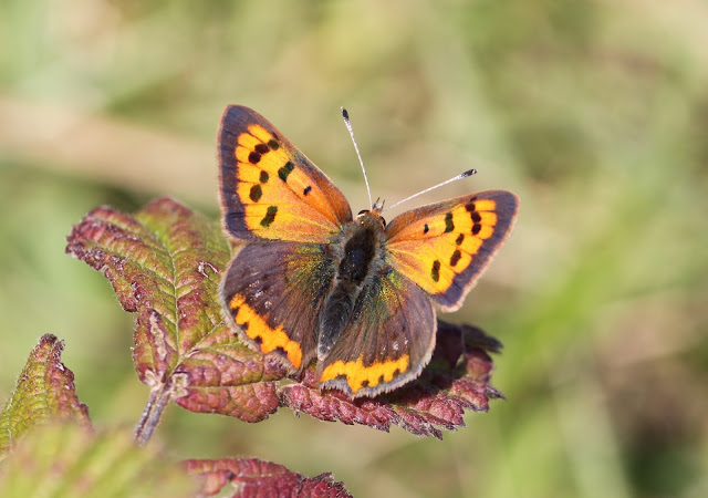Small Copper - Kent