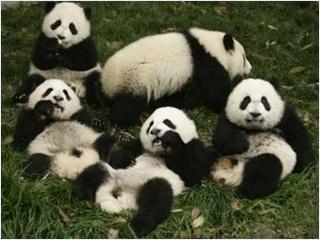 ศูนย์วิจัยและเพาะพันธุ์แพนด้ายักษ์ (Giant Panda Breeding Research Base)