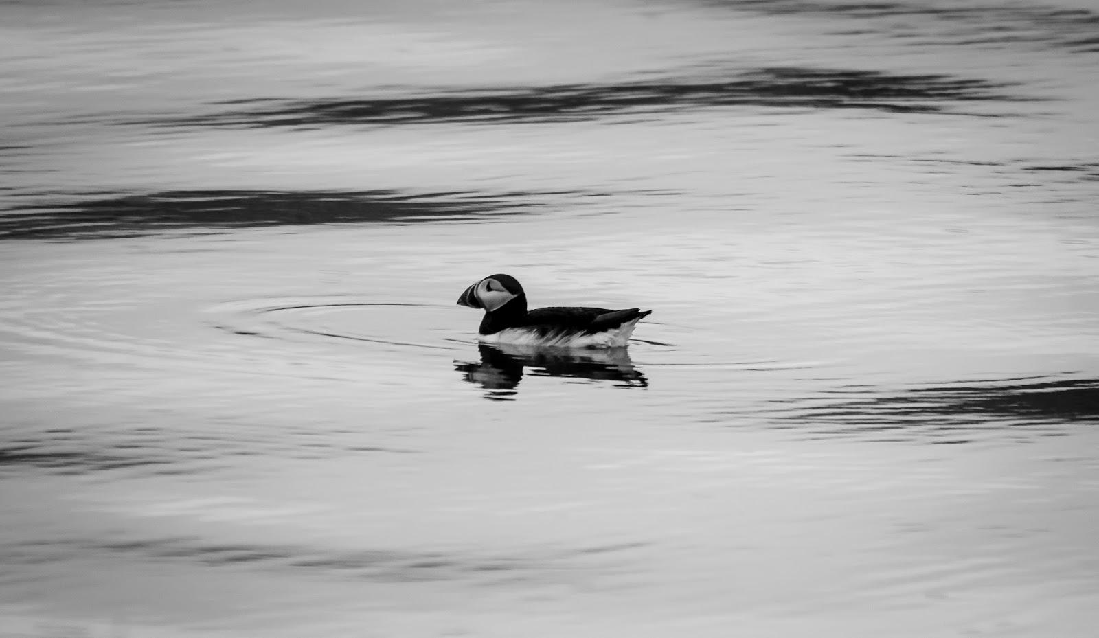 oiseau svalbard spitzberg
