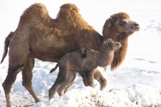 Baby Animals: Camel - Calf 30