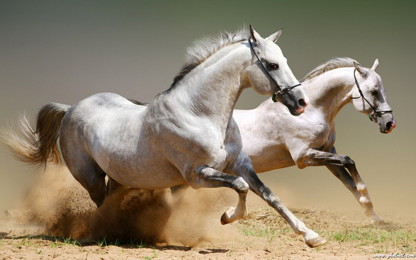 White running horses - photo#52