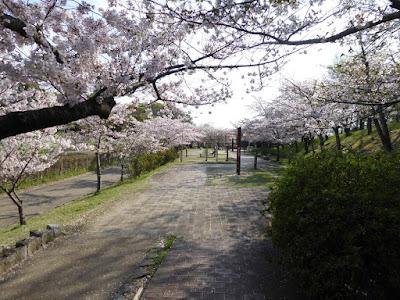寝屋川公園の桜・お花見ウォーキング