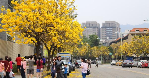 《台中.太平》2018太順路黃花風鈴木盛開,馬路兩旁開滿花,變成黃金大道