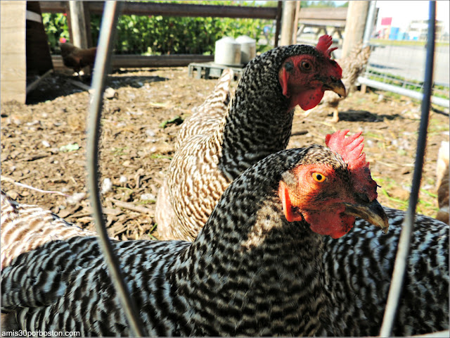Granjas de New Hampshire: Gallinas en la Applecrest Farm