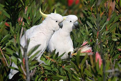 Burung Kakatua, 16 Fakta & Informasi Menarik Lainnya