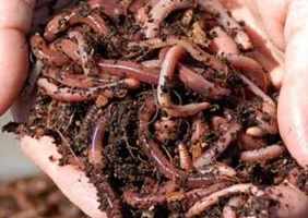 Jus cacing tanah