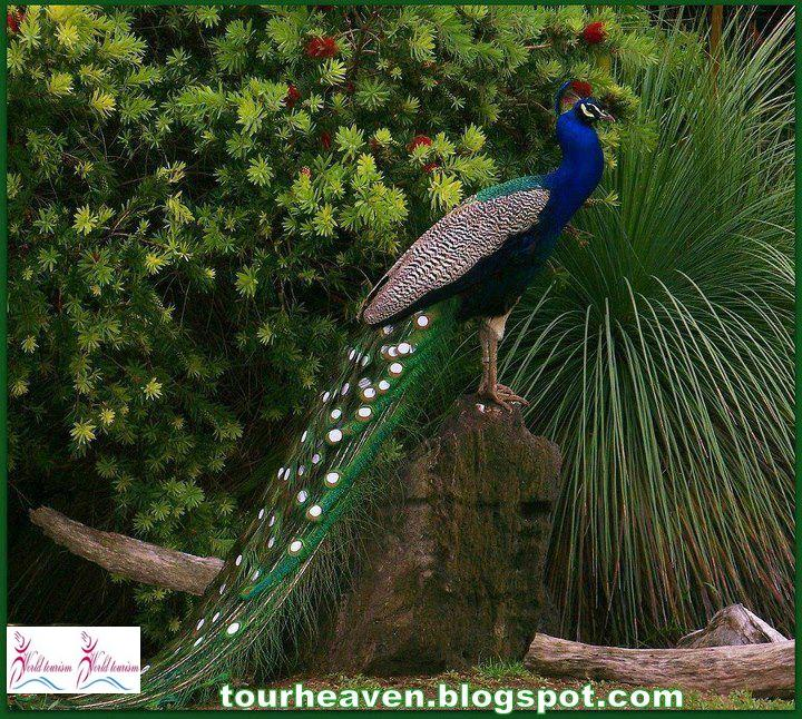 India National Symbols 5national Bird Peacock