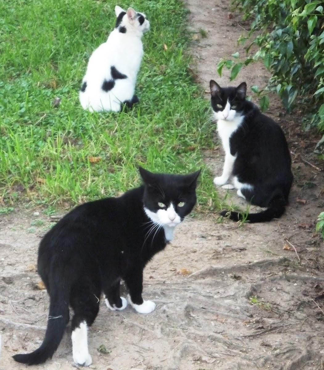 Gato Doméstico (Felis catus)