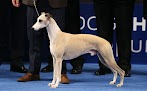 Whiskey the Whippet nabs 'Best in Show' title at 17th annual National Dog Show