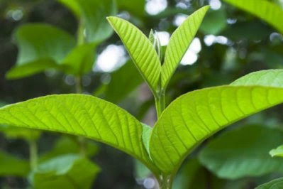 The Amazing Benefits Of Guava Leaf