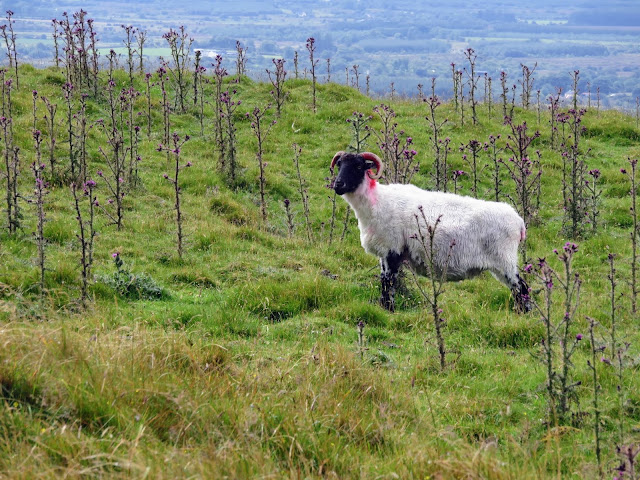 Curious sheep at Knocknashee in Sligo Ireland