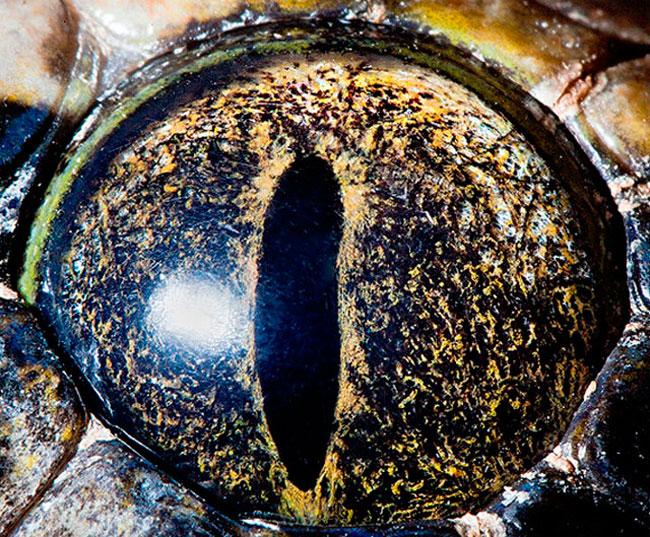 Olho de Python tigre