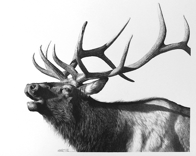 05-Mid-Season-Bull-Elk-William-Bill-Harrison-Majestic-Wildlife-Carbon-Pencil-Drawings-www-designstack-co