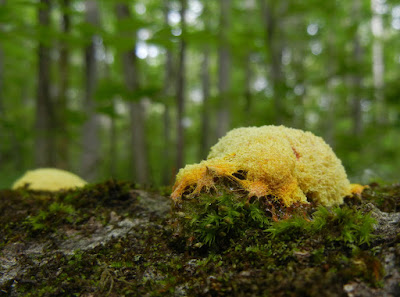 Typical yellow sporangia of Fuligo septica