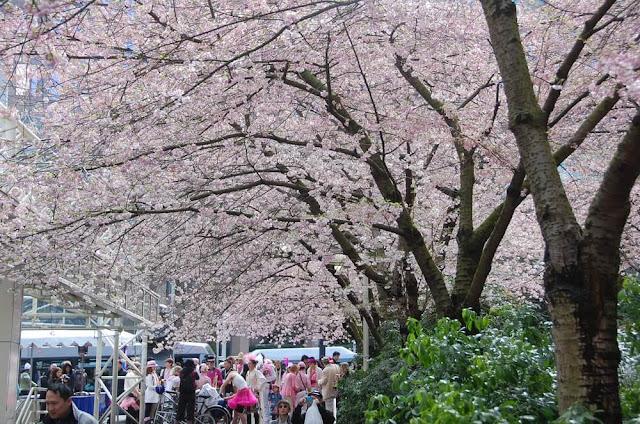 Sở hữu hơn 130.000 cây anh đào, không có gì ngạc nhiên khi Vancouver mỗi năm đều tổ chức lễ hội cho loài hoa tuyệt đẹp này. Bắt đầu từ năm 2005, sự kiện này bao gồm một loạt các hoạt động vui nhộn như cuộc thi haiku, các buổi biểu diễn nhạc sống và một cuộc dã ngoại quy mô lớn ở Công viên Nữ hoàng Elizabeth.