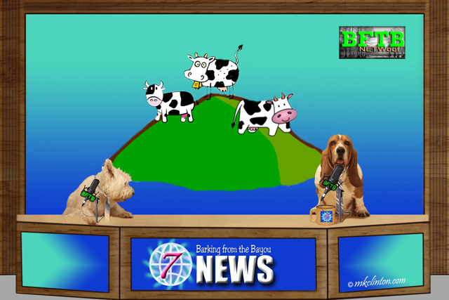 BFTB NETWoof News story of the cows in New Zealand earthquake