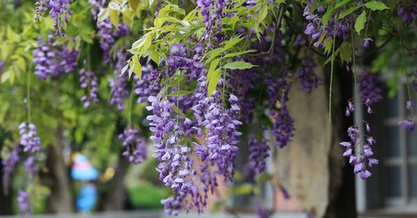 台中后里|泰安國小外面紫藤花|紅毛刷|朱纓花|路過的美景