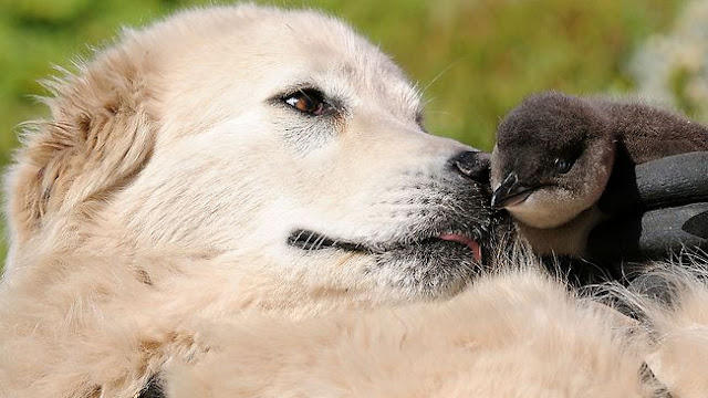 Close up photo of Maremma sheepdog sniffing a Little Blue Penguin chick on Middle Island. No Kicking Penguins and other stories about penguins. marchmatron.com