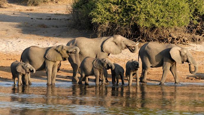 Wallpaper: Family of Elephants in Botswana
