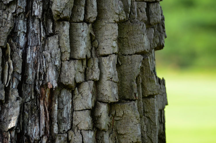 The bark of the persimmon tree is distinctive and looks like little blocks of wood.
